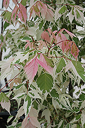 Flamingo Boxelder (Acer negundo 'Flamingo') at Alsip Home and Nursery