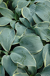 Frosted Dimples Hosta (Hosta 'Frosted Dimples') at Alsip Home and Nursery