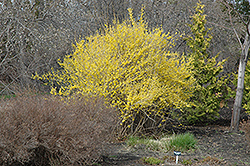 Northern Gold Forsythia (Forsythia 'Northern Gold') at Alsip Home and Nursery