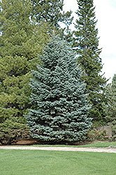 Mission Blue Colorado Spruce (Picea pungens 'Mission Blue') at Alsip Home and Nursery