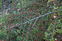 Rockspray Cotoneaster (Cotoneaster horizontalis 'var. perpusillus') at Alsip Home and Nursery