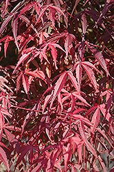 Willow Leaf Japanese Maple (Acer palmatum 'Willow Leaf') at Alsip Home and Nursery