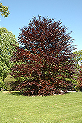 Spaeth Purple Beech (Fagus sylvatica 'Spaethiana') at Alsip Home and Nursery