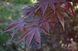 Moonfire Japanese Maple (Acer palmatum 'Moonfire') at Alsip Home and Nursery