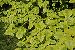 Golden Nugget Flowering Dogwood (Cornus florida 'Golden Nugget') at Alsip Home and Nursery