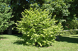 Golden Leaf Hazel (Corylus avellana 'Aurea') at Alsip Home and Nursery
