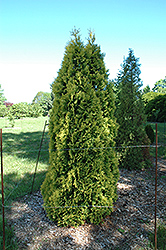 Douglas Golden Arborvitae (Thuja occidentalis 'Douglasii Aurea') at Alsip Home and Nursery