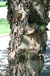 Heritage Improved River Birch (Betula nigra 'Heritage Improved') at Alsip Home and Nursery