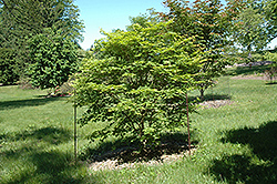 Sode No Uchi Dwarf Siebold Maple (Acer sieboldianum 'Sode No Uchi') at Alsip Home and Nursery