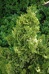 Little Markey Hinoki Falsecypress (Chamaecyparis obtusa 'Little Markey') at Alsip Home and Nursery