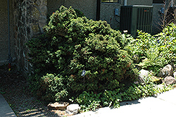 Elegant Dwarf Japanese Cedar (Cryptomeria japonica 'Elegans Nana') at Alsip Home and Nursery