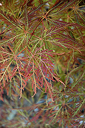Dr. Baker Cutleaf Japanese Maple (Acer palmatum 'Dr. Baker') at Alsip Home and Nursery