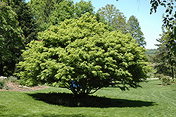 Ivy-leaved Maple (Acer cissifolium) at Alsip Home and Nursery