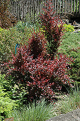 Ruby Jewel Japanese Barberry (Berberis thunbergii 'JN Redleaf') at Alsip Home and Nursery