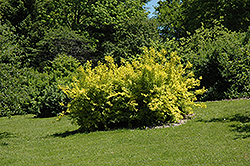 Golden Times Forsythia (Forsythia x intermedia 'Golden Times') at Alsip Home and Nursery