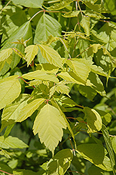 Kelly's Gold Boxelder (Acer negundo 'Kelly's Gold') at Alsip Home and Nursery