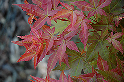 Otome Zakura Japanese Maple (Acer palmatum 'Otome Zakura') at Alsip Home and Nursery