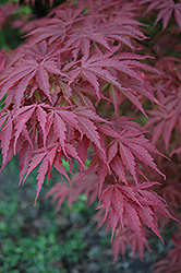 Chitose Yama Japanese Maple (Acer palmatum 'Chitose Yama') at Alsip Home and Nursery
