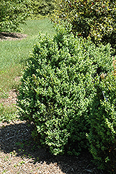 Ohio Boxwood (Buxus sempervirens 'Ohio') at Alsip Home and Nursery