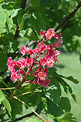 O'Neills Red Horse Chestnut (Aesculus x carnea 'O'Neills Red') at Alsip Home and Nursery