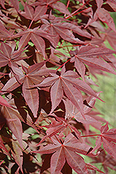 Red Spray Japanese Maple (Acer palmatum 'Red Spray') at Alsip Home and Nursery