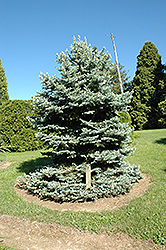 Royal Knight Blue Spruce (Picea pungens 'Royal Knight') at Alsip Home and Nursery