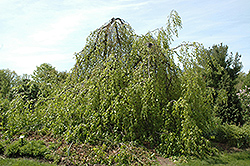 Weeping Beech (Fagus sylvatica 'Pendula') at Alsip Home and Nursery