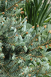 Blue Mesa Blue Spruce (Picea pungens 'Blue Mesa') at Alsip Home and Nursery
