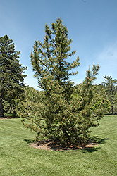 Japanese Black Pine (Pinus thunbergii) at Alsip Home and Nursery