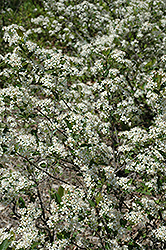 Iroquois Beauty Black Chokeberry (Aronia melanocarpa 'Morton') at Alsip Home and Nursery
