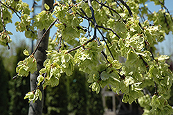 Umbrella Smoothleaf Elm (Ulmus carpinifolia 'Umbraculifera') at Alsip Home and Nursery