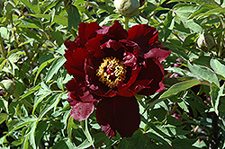 Black Panther Tree Peony (Paeonia suffruticosa 'Black Panther') at Alsip Home and Nursery