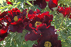 Boreas Tree Peony (Paeonia suffruticosa 'Boreas') at Alsip Home and Nursery