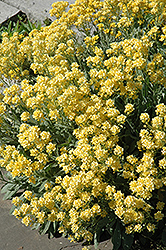 Dudley Neville Variegated Basket of Gold (Aurinia saxatilis 'Dudley Neville Variegated') at Alsip Home and Nursery