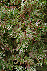 Alpenweiss Variegated Dwarf Japanese Maple (Acer palmatum 'Alpenweiss') at Alsip Home and Nursery
