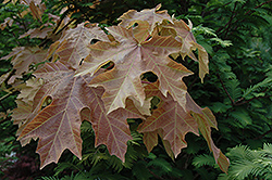 Mocha Rose Big Leaf Maple (Acer macrophyllum 'Mocha Rose') at Alsip Home and Nursery