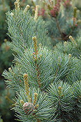 Gimborn's Ideal Japanese White Pine (Pinus parviflora 'Gimborn's Ideal') at Alsip Home and Nursery