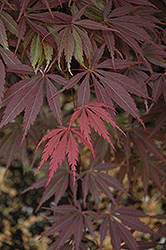 Burgundy Lace Japanese Maple (Acer palmatum 'Burgundy Lace') at Alsip Home and Nursery