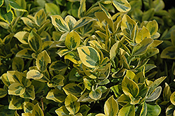 Mor Gold Wintercreeper (Euonymus fortunei 'Mor Gold') at Alsip Home and Nursery