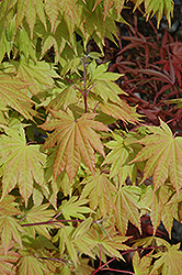 Autumn Moon Full Moon Maple (Acer shirasawanum 'Autumn Moon') at Alsip Home and Nursery