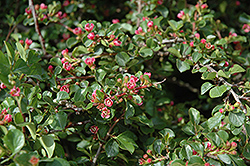 Praecox Cotoneaster (Cotoneaster adpressus 'Praecox') at Alsip Home and Nursery
