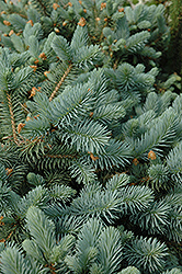 Lundeby's Dwarf Blue Spruce (Picea pungens 'Lundeby's Dwarf') at Alsip Home and Nursery