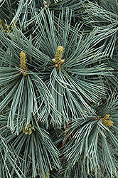 Extra Blue Limber Pine (Pinus flexilis 'Extra Blue') at Alsip Home and Nursery