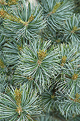 Short-Needled Japanese Blue Pine (Pinus parviflora 'Glauca Brevifolia') at Alsip Home and Nursery