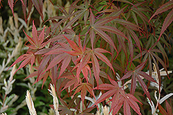 Dwarf Red Pygmy Japanese Maple (Acer palmatum 'Red Pygmy') at Alsip Home and Nursery