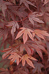 Fireglow Japanese Maple (Acer palmatum 'Fireglow') at Alsip Home and Nursery