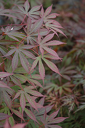 Suminagashi Japanese Maple (Acer palmatum 'Suminagashi') at Alsip Home and Nursery