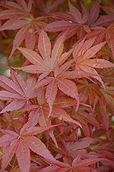 Pixie Dwarf Japanese Maple (Acer palmatum 'Pixie Dwarf') at Alsip Home and Nursery