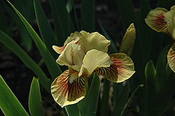 Little Pearl Iris (Iris 'Little Pearl') at Alsip Home and Nursery