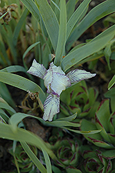 Pixie's Sister Iris (Iris 'Pixie's Sister') at Alsip Home and Nursery